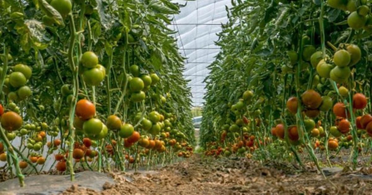 Очемговорят помидоры