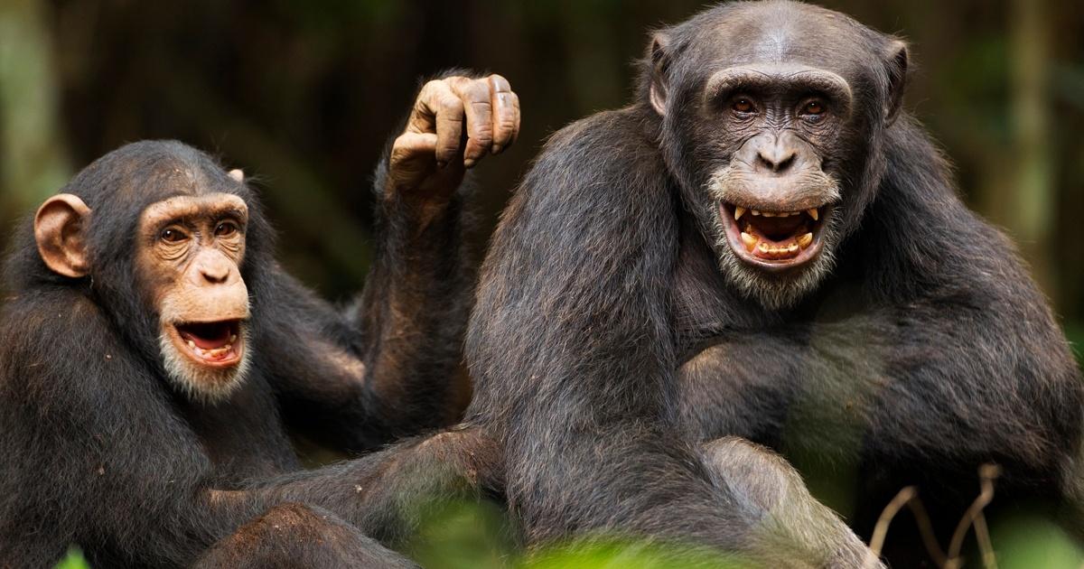 Видео: обезьяна с двухметровой палкой против дрона